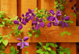 3 tips to growing Clematis