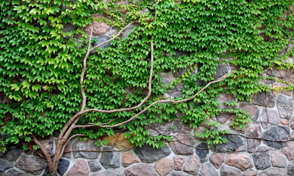 Choosing climbing plants? Here's what you need to know ...