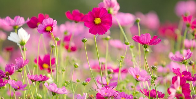 Things to know about growing cosmos flowers