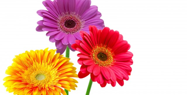 Key elements to growing painted daisies