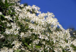 3 easy steps on how to grow fall Clematis