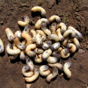 First aid for your lawn: grubs