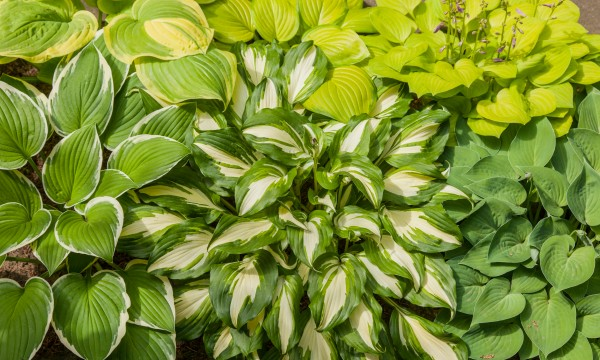 Remedies for sick, insect-ridden and sad hostas