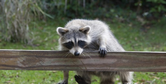 7 ways to keep problem animals out of your garden smart tips How to keep raccoons out of garden