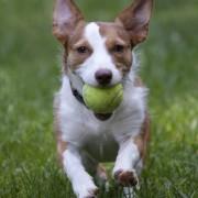 Teaching your dog fetch