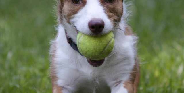 Teaching your dog fetch