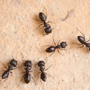 Detect and eliminate carpenter ants for a cleaner home