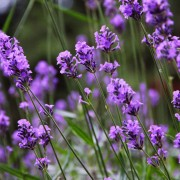 Lavender: get to know this sleep-boosting superstar
