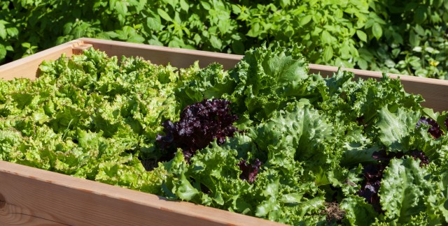 The healthy facts of lettuce and salad greens