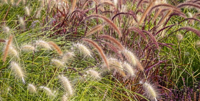 How-to: growing ornamental grasses from seeds