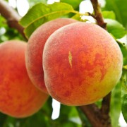 4 quick facts on the health benefits of peaches