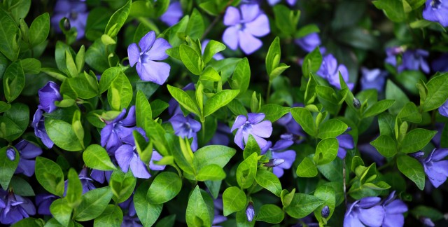 Key tidbits about the periwinkle flower
