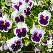3 tricks to growing a beautiful spread of pansies