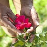 Tips for maintaining the health of garden roses