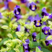 3 tips for caring for Torenia