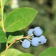 Bleuet et canneberge, propriétés médicinales et culinaires