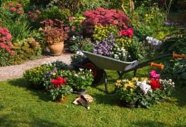 Comment faire pousser des chrysanthèmes