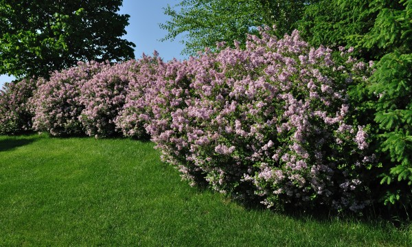 8 arbustes d coratifs pour votre jardin trucs pratiques for Pic decoratif pour jardin