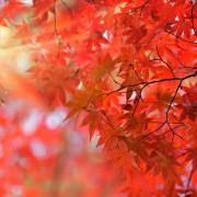 L'érable du Japon : une merveille dans votre jardin