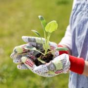 Des moyens sûrs pour faire pousser des graines de ricin