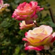 4 conseils pour faire pousser de belles roses