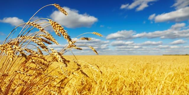 Les origines de l'agriculture: la culture du maïs et de l'avoine