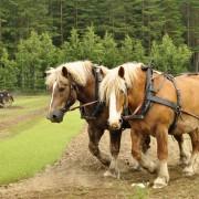 Conseils malins pour acheter le bon cheval de trait