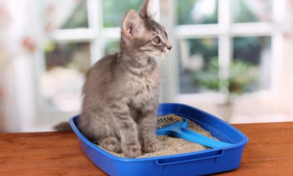 litiere chat et grossesse