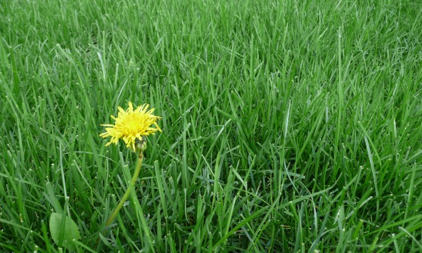 Que faire des mauvaises herbes dans votre pelouse trucs pratiques - Mauvaise herbe pelouse ...