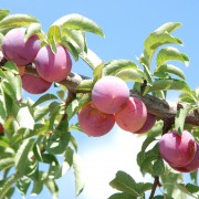 Conseils pour protéger les arbres fruitiers des nuisibles