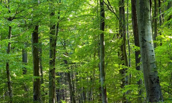 Tout ce que vous devez savoir sur l 39 agrile du fr ne trucs pratiques - Frene bois de chauffage ...
