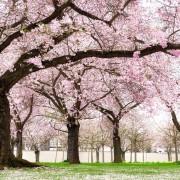 Conseils pour faire pousserdes cerisiers en fleurs sans entretien
