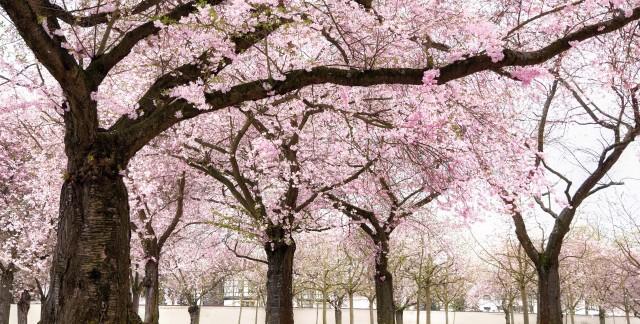 4 tapes pour faire pousser un cornouiller en pleine sant trucs pratiques - Faire pousser un cerisier ...