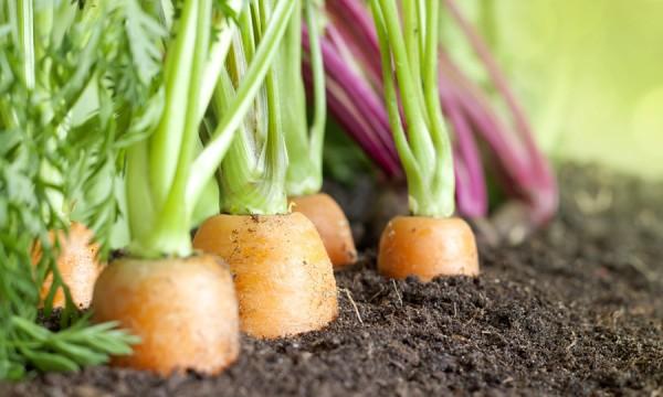 Conseils pour faire pousser vos l gumes biologiques dans for Le jardin qui dit non