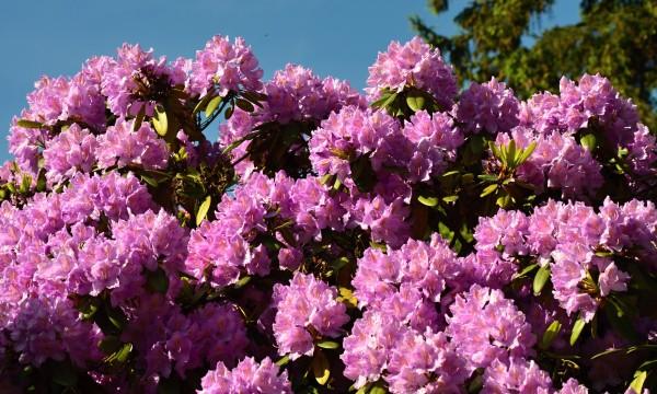 Arbustes ne n cessitant pas de soins le laurier de - Rhododendron ne fleurit pas ...