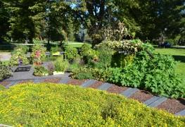 Des arbustes sans souci: cornouiller stolonifère