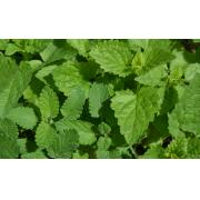 9 infos utiles sur la cataire : une plante médicinale et aromatique