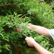 6 conseils pour tailler vos arbustes facilement