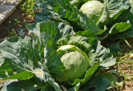 Le jardinage écologique: cultiver le chou