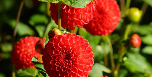Comment planter des dahlias