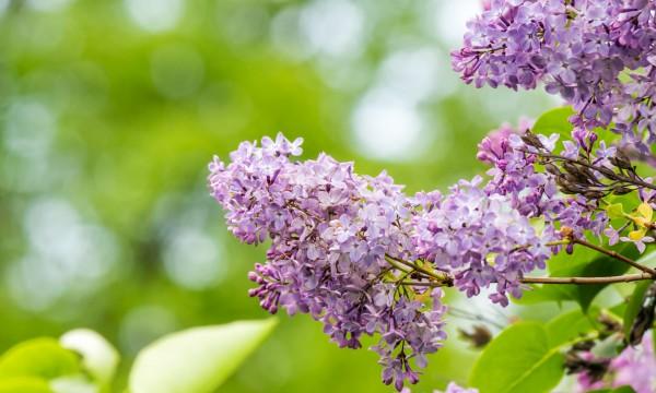 4 raisons pour faire pousser des lilas dans votre jardin trucs pratiques. Black Bedroom Furniture Sets. Home Design Ideas