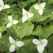 7 conseils pour cultiver de beauxtrilliums en pleine santé