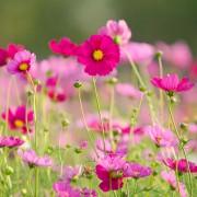 4 conseils pour cultiver des cosmos dans votre jardin