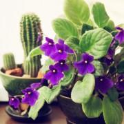 La violette, fleur de légende