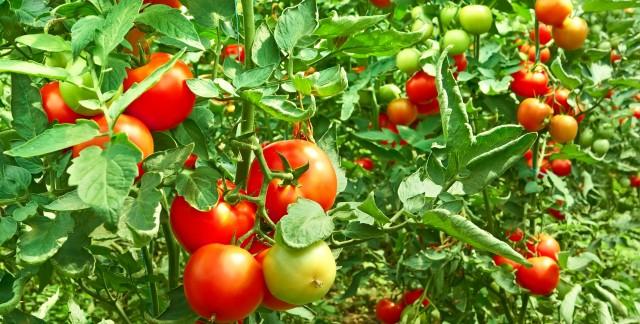 7 astuces pour faire pousser de beaux plants de tomate - Faire pousser des tomates ...