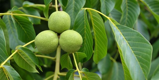 6 conseils pour la culture d'arbres ànoix