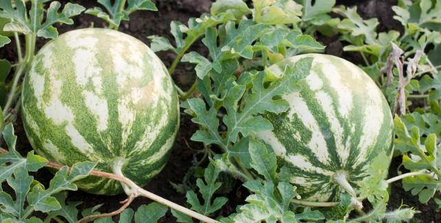 6 techniques faciles pour cultiver des melons