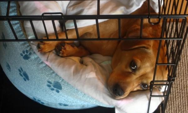 comment choisir la bonne cage pour votre chien trucs. Black Bedroom Furniture Sets. Home Design Ideas