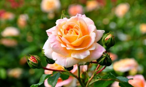 conseils astucieux pour cultiver et entretenir un jardin de roses trucs pratiques. Black Bedroom Furniture Sets. Home Design Ideas