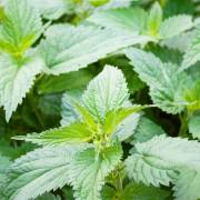L'ortie, une plante médicinale qui a du piquant